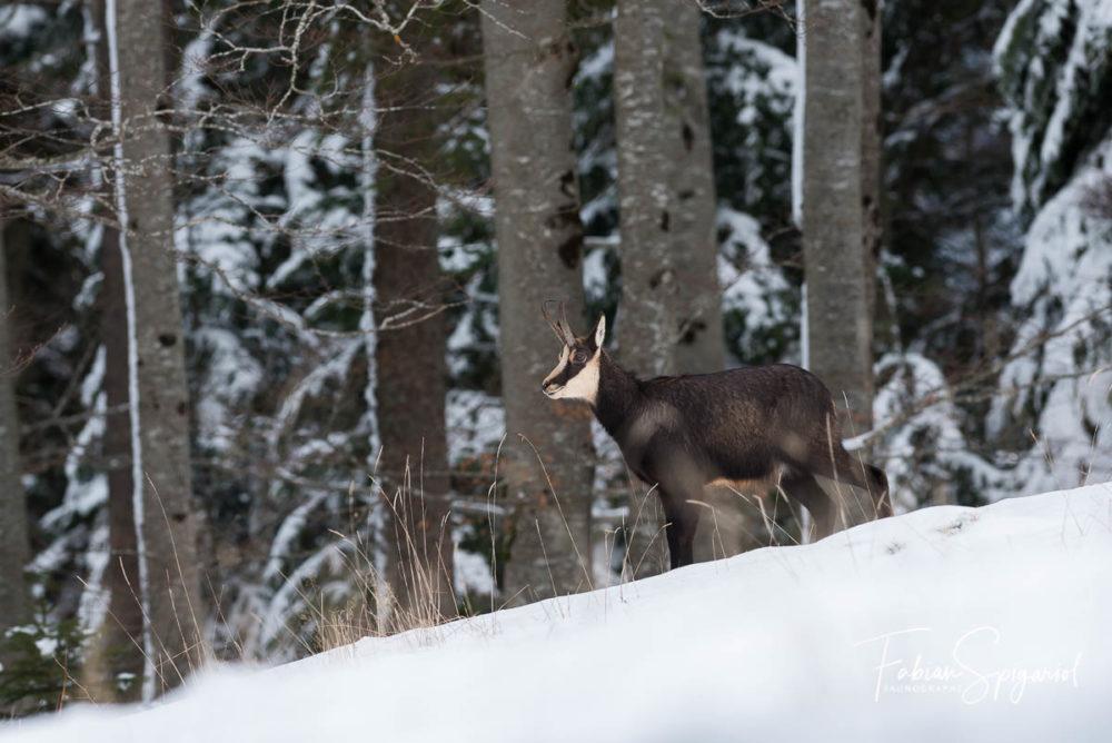 C'est à pas de loup de que chamois quitte la forêt pour venir dans la clairière enneigée.