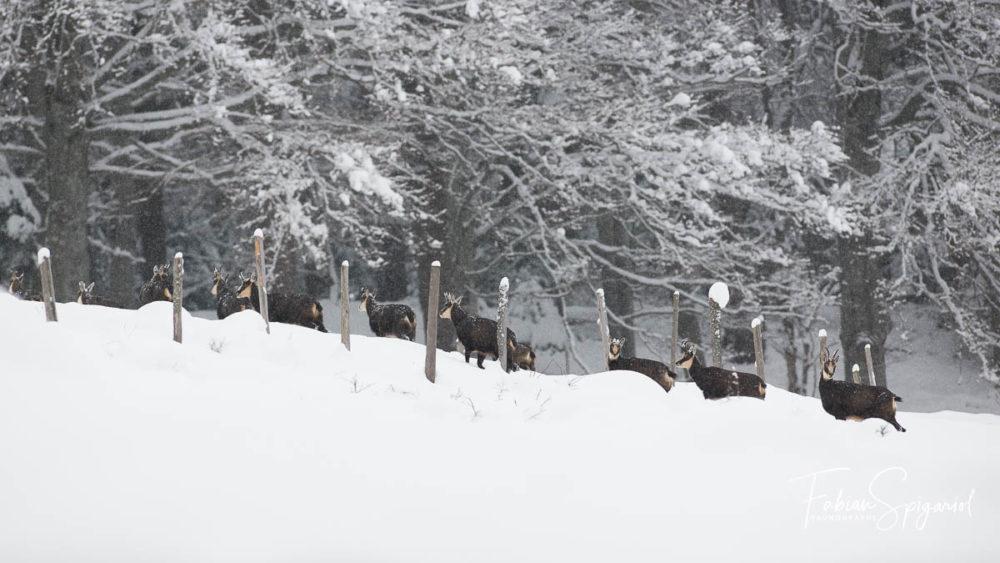 Une colonie de chamois surprise sous les flocons de neige quelque part sur les hauteurs du Val-de-Travers...