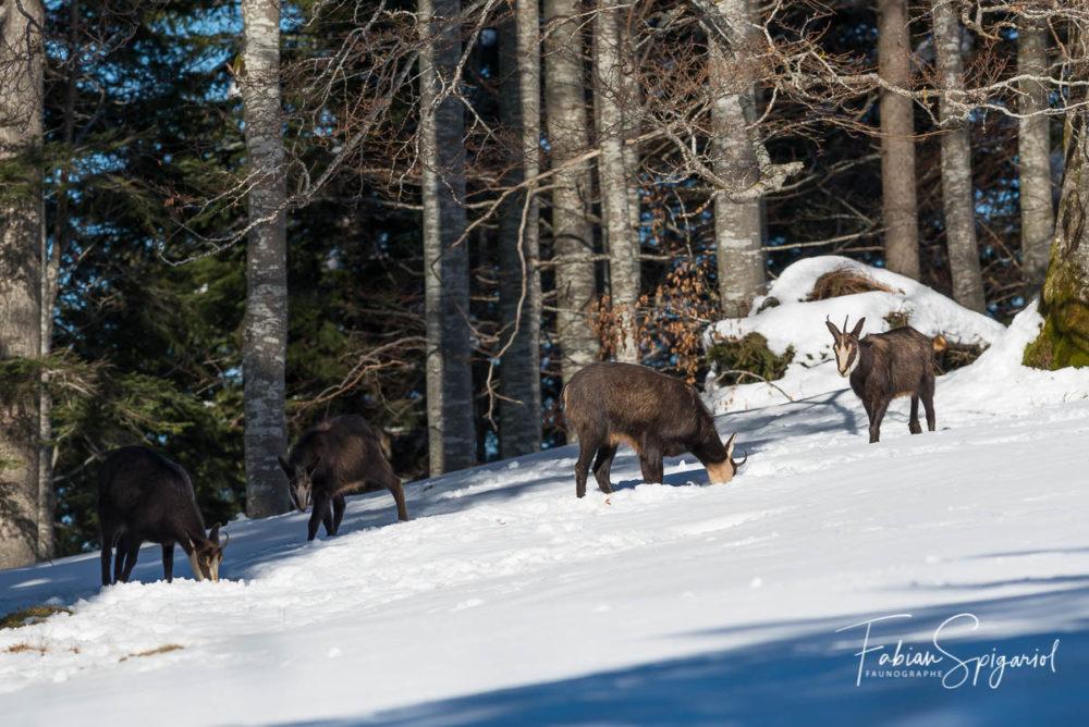 La petite troupe de chamois sort progressivement du bois pour rejoindre leur paturage boisé favori sur les crêtes du Val-de-Travers.