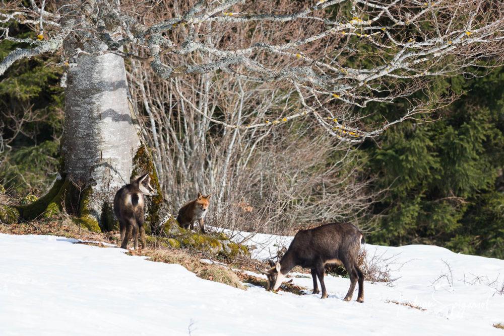 Une rencontre furtive entre le renard roux et deux chamois sur les hauteurs du Val-de-Travers