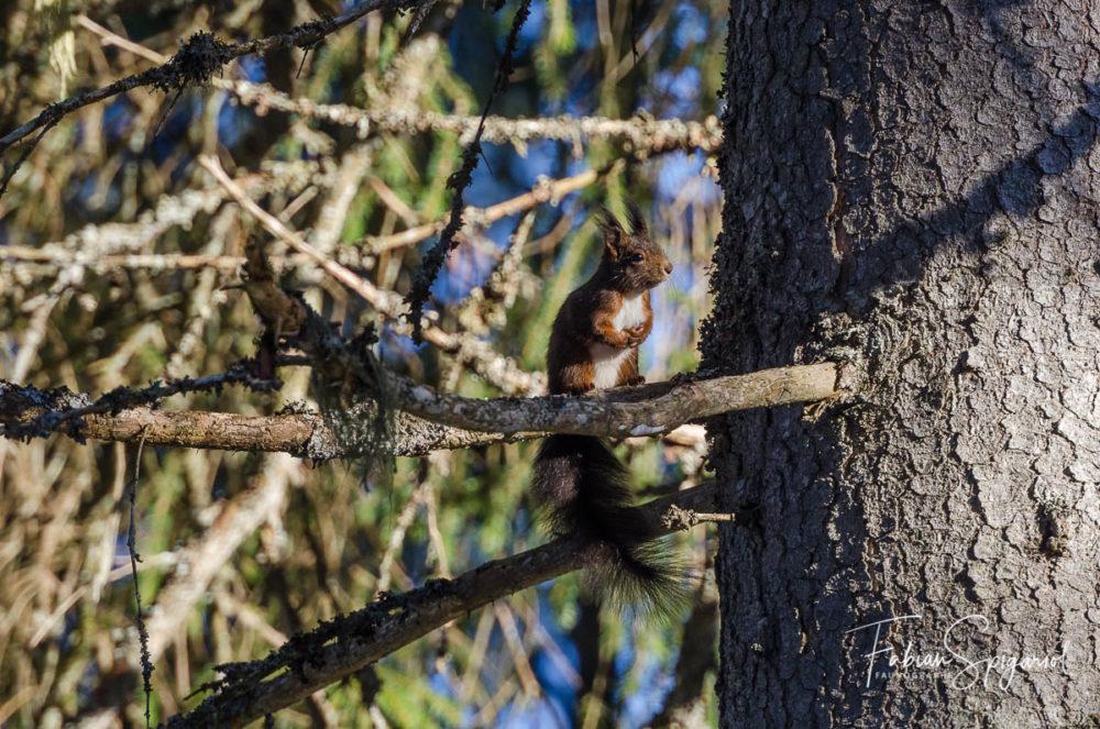 Les pattes jointes, ce petit écureuil déguste une graine sur un sapin.