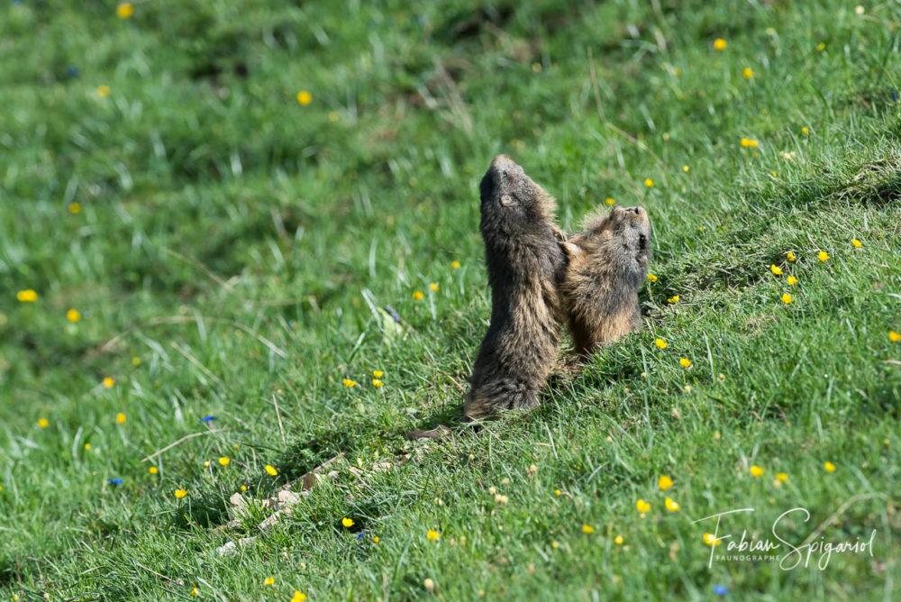 Un bref duel printanier entre deux marmottes jurassienne.