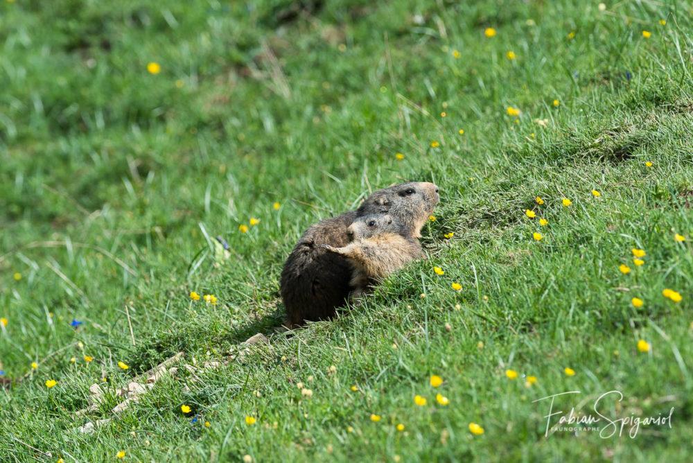 A la sortie du terrier, cette jeune marmotte fait quelques étirements à proximité de sa maman.
