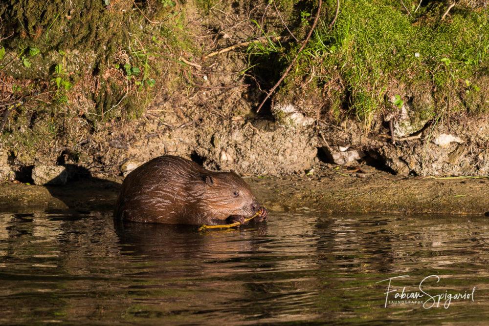 C'est éclairé par les derniers rayons de soleil d'une belle soirée printanière que ce castor déguste l'écorce d'une branche trouvée dans la rivière...