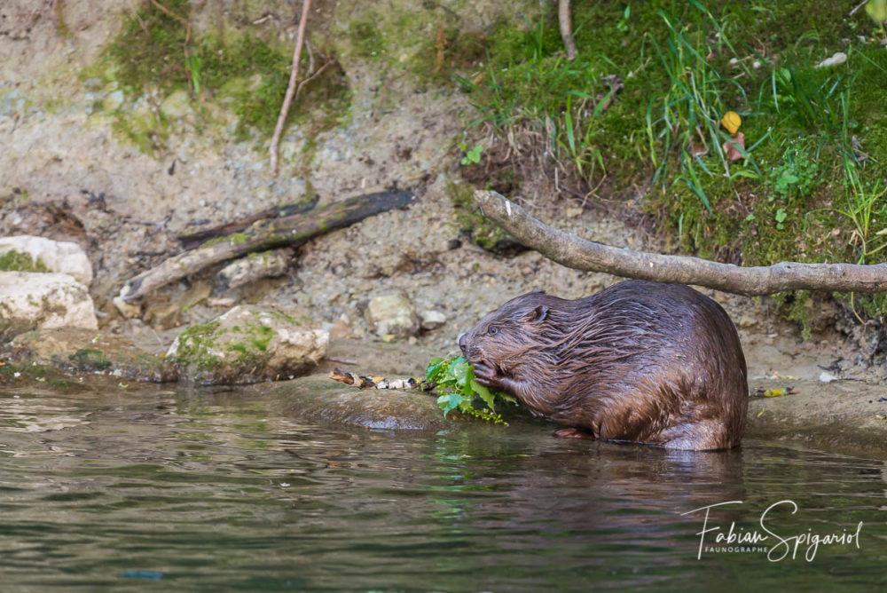 Le castor est un végétarien convaincu qui se délecte de quelques feuilles juteuses au bord de la rivière.