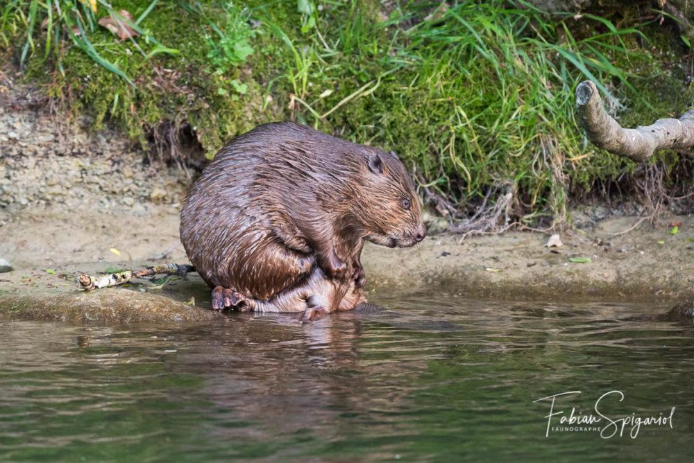 Après quelques exercices de natation, le castor prend le temps de soigner sa robe sur les berges de la rivière...