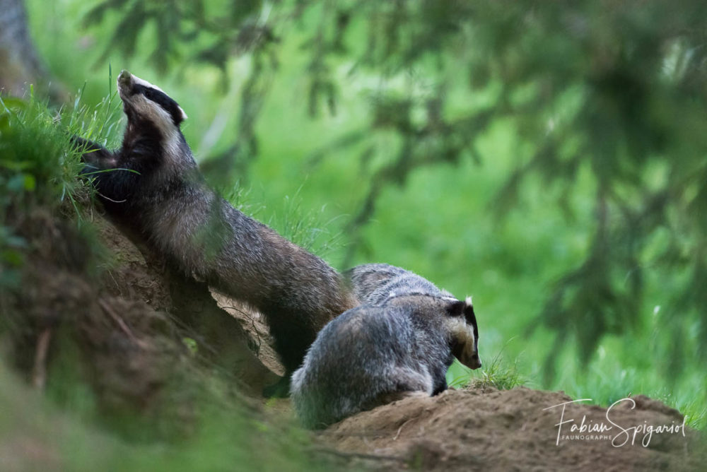 Sortis du terrier au cépuscule, les blaireaux s'adonnent à quelques séances d'étirement avant de partir en vadrouille.
