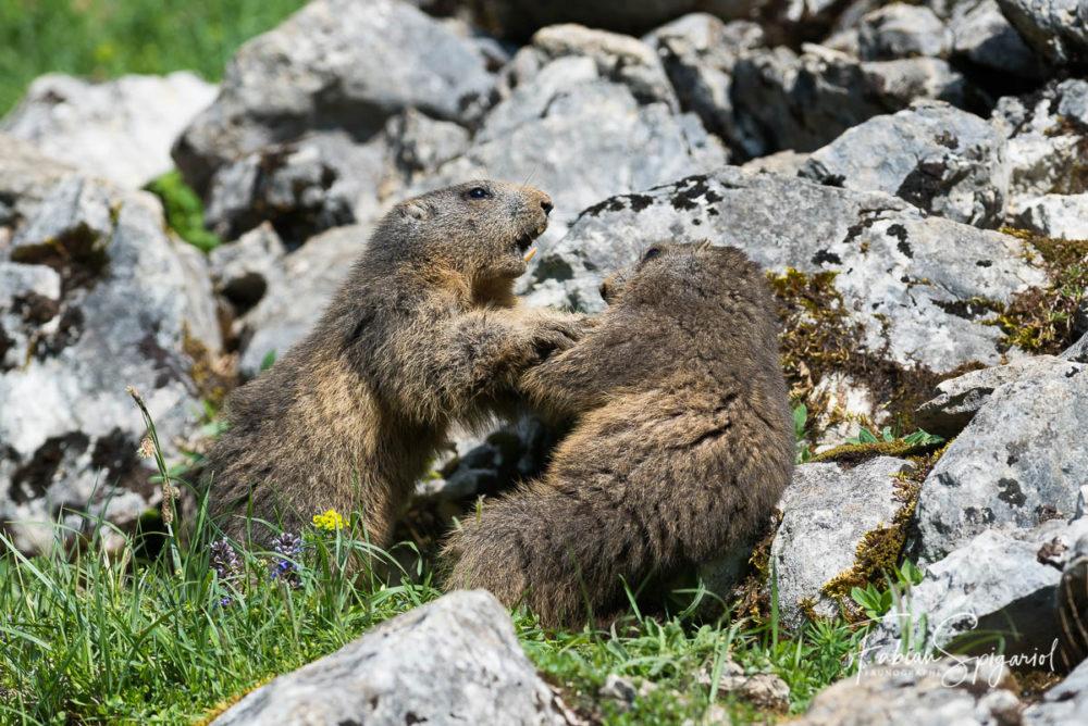 Extraits d'un duel matinal entre deux marmottes immortalisé quelque part sur les crêtes du Jura Neuchâtelois.