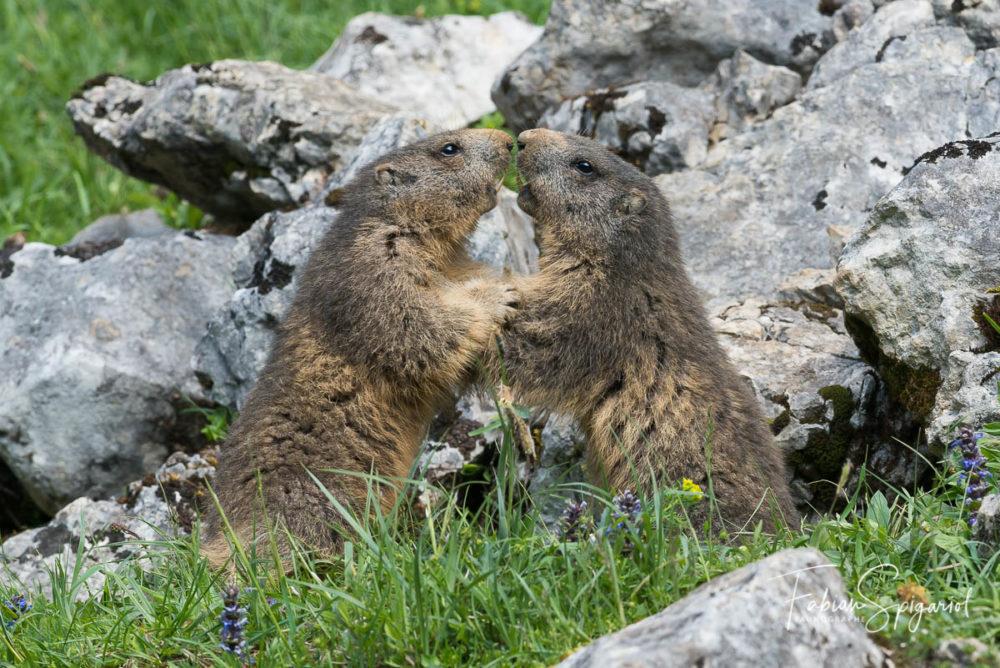 Empoignade entre deux jeunes marmottes jurassiennes.