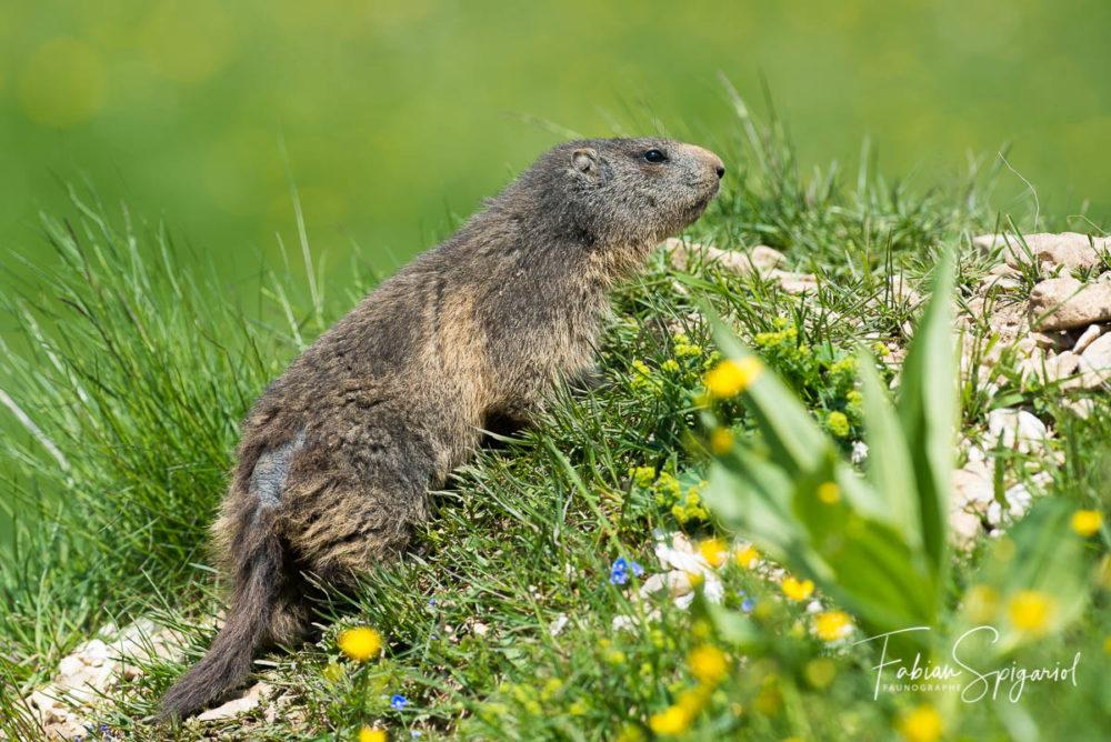 Sur les remblais de son terrier, cette marmotte possède un joli jardin fleuri...