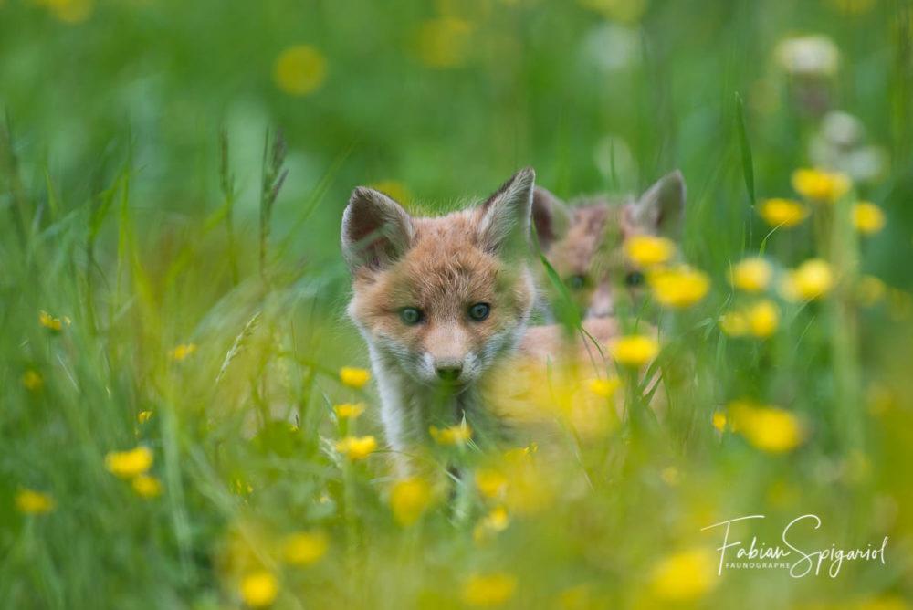 Deux jeunes renardeaux explorent les environs du terrier familial.
