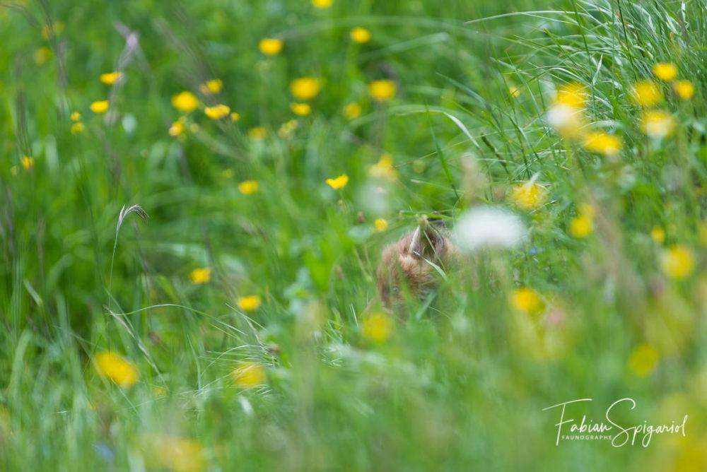 Sorti il y a quelques jours à peine du terrier familial, ce jeune renardeau à encore le regard bleu. Parti à la découverte des environs du terrier, il se couche quelques instants dans les herbes hautes pour se reposer.