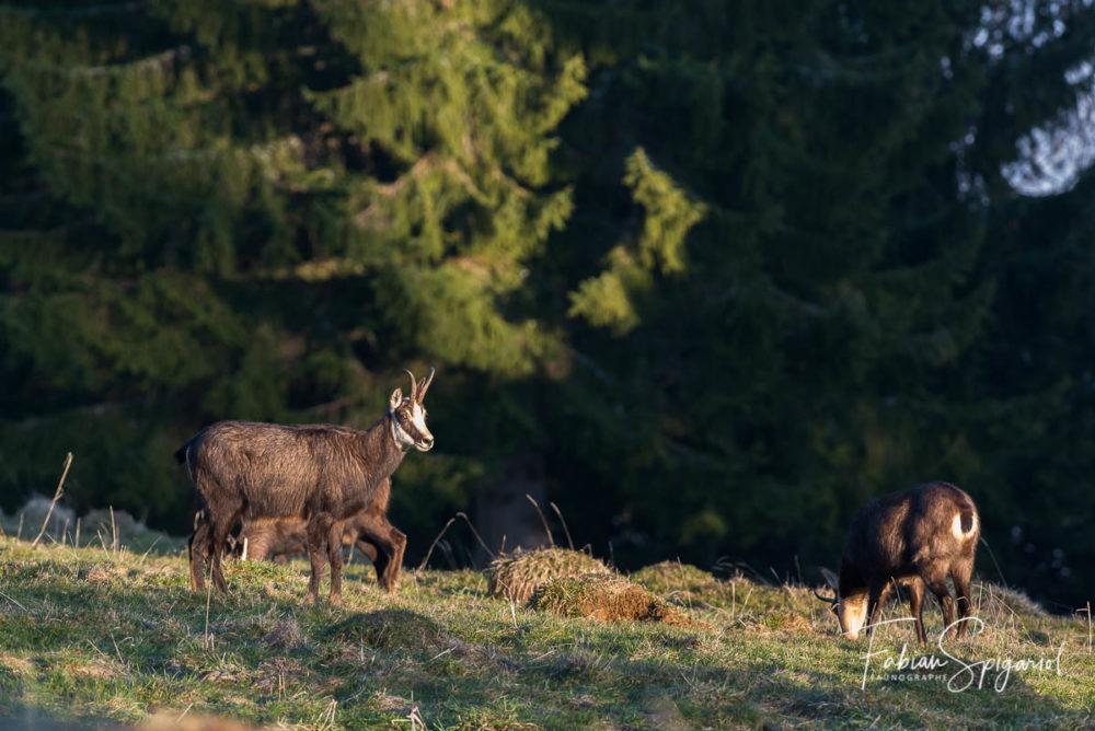 Les chamois se regroupent en bordure du paturage boisé pour brouter en fin de journée.