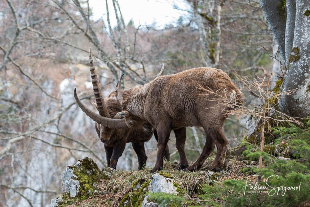 Combat viril et rugueux entre deux bouquetins mâles dans la réserve du Creux-du-Van.