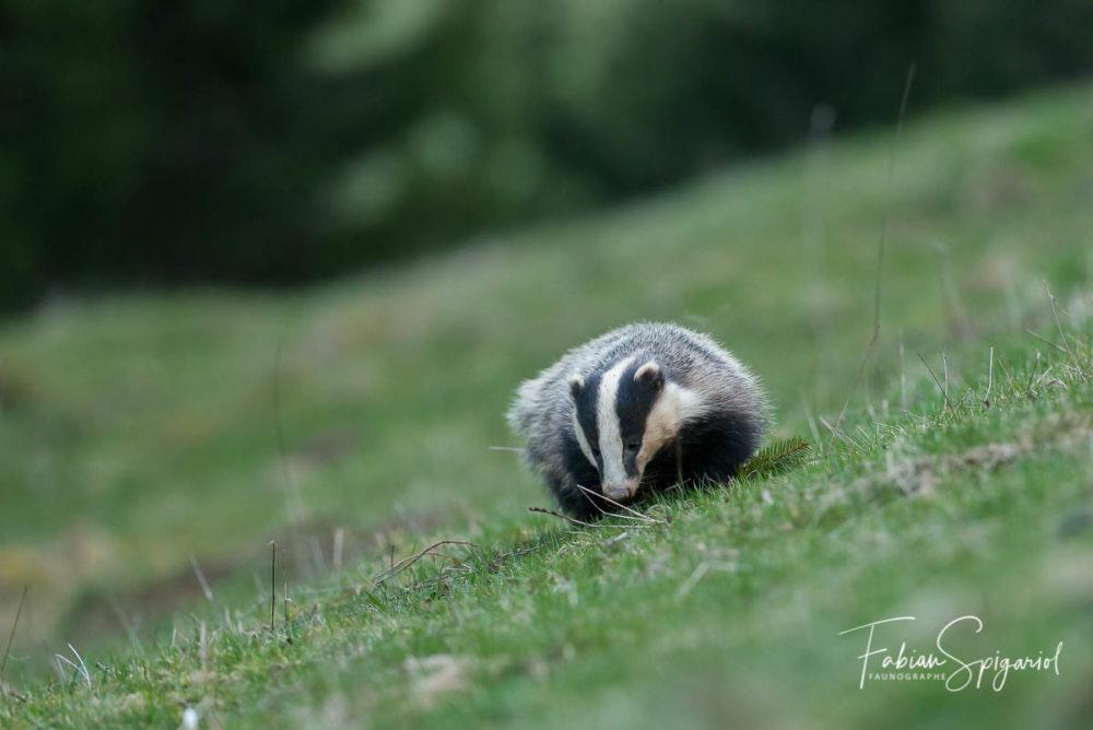Maître blaireau en balade crépusculaire dans un champ des crêtes du Jura.