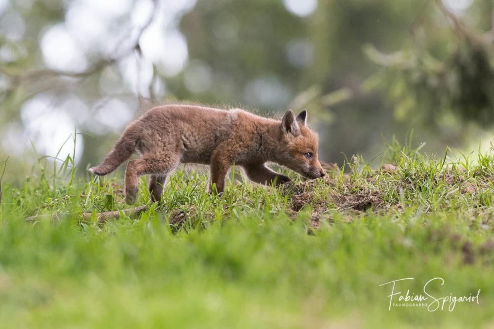 Ce renardeau a déjà adopté la démarche du chasseur.