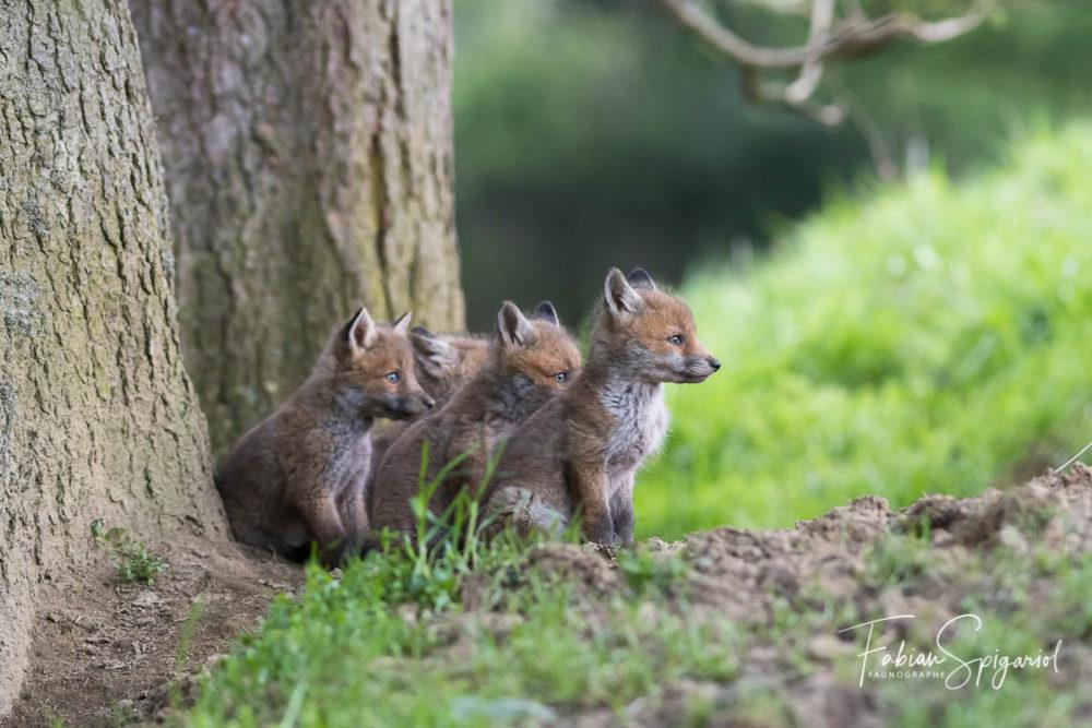 A la tombée du jour, les renardeaux attendent avec impatience le retour de leur mère qui reviendra la gueule remplie de campagnols.