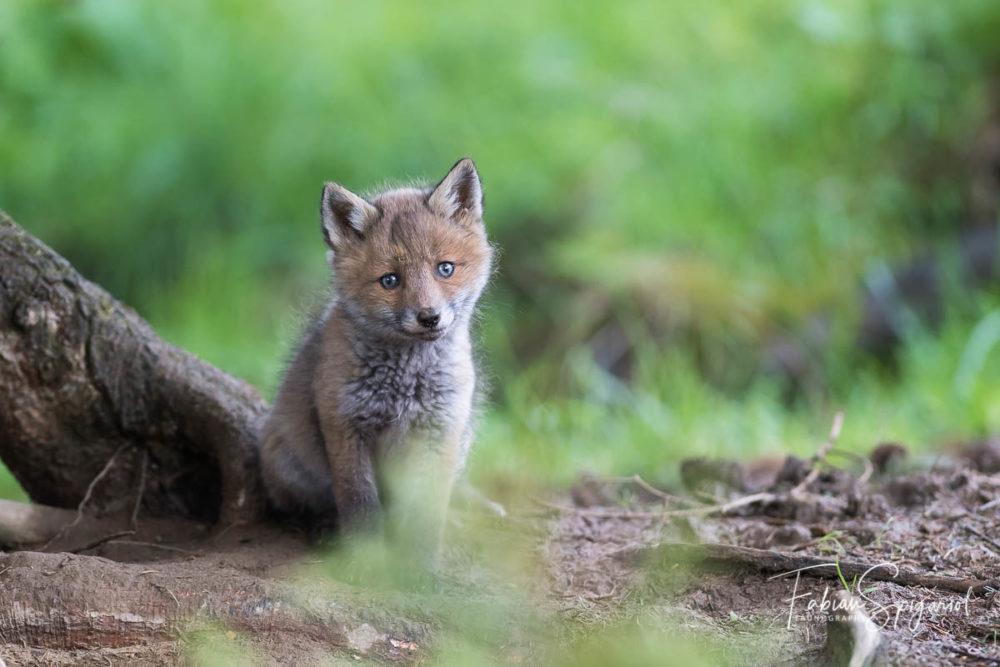 Les yeux encore bleus, ce renardeau âgé de quelques semaines découvre le vaste monde...