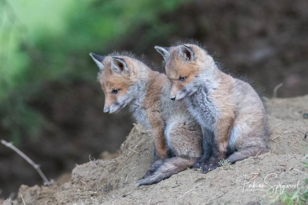 Deux jeunes renardeaux observés sur leur terrier, quelque part sur les crêtes du Val-de-Travers.