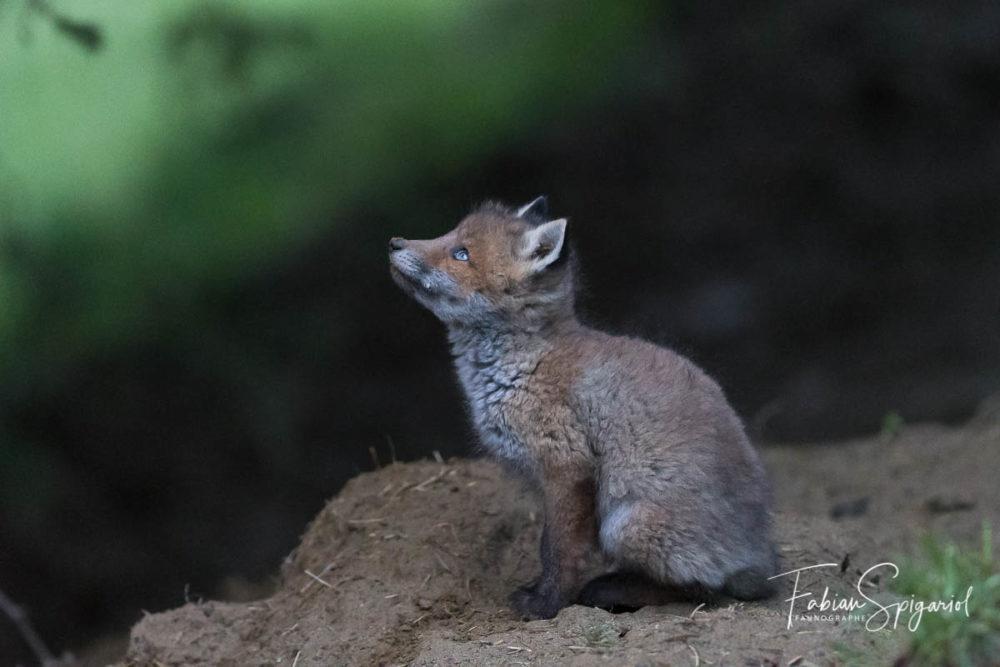 Le chant du pic noir interpelle ce jeune renardeau qui lève ses beaux yeux bleus au ciel...