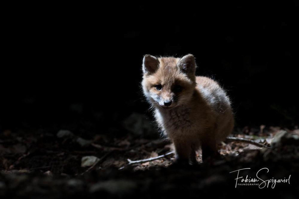Dans le petit bois sombre, le renardeau s'avance dans un rayon de lumière.