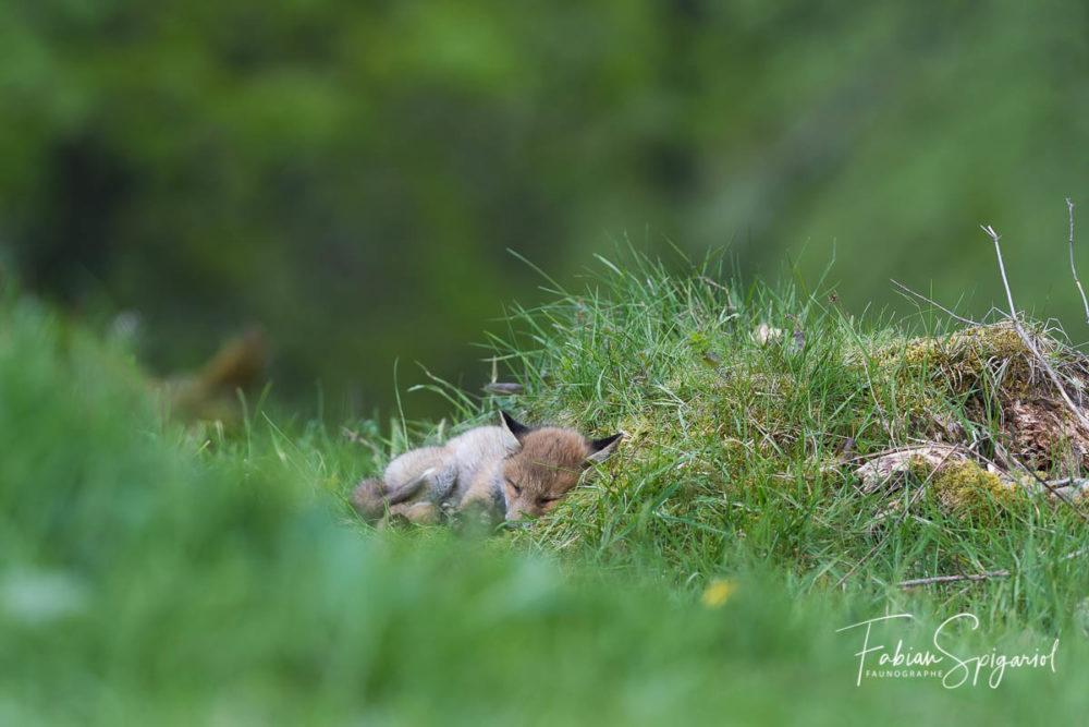 Bien installé sur un lit de mousse, le renardeau dormira durant près d'une heure avant d'aller jouer avec ses frères et soeurs.