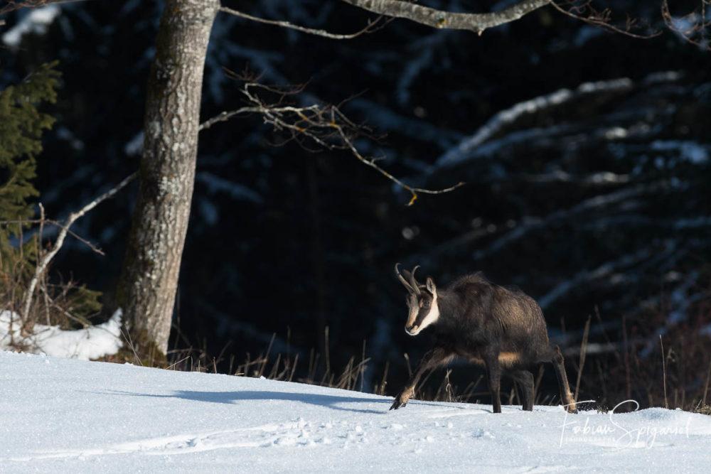 Le chamois quitte la pénombre de la forêt pour rejoindre le champ enneigé en fin de journée.