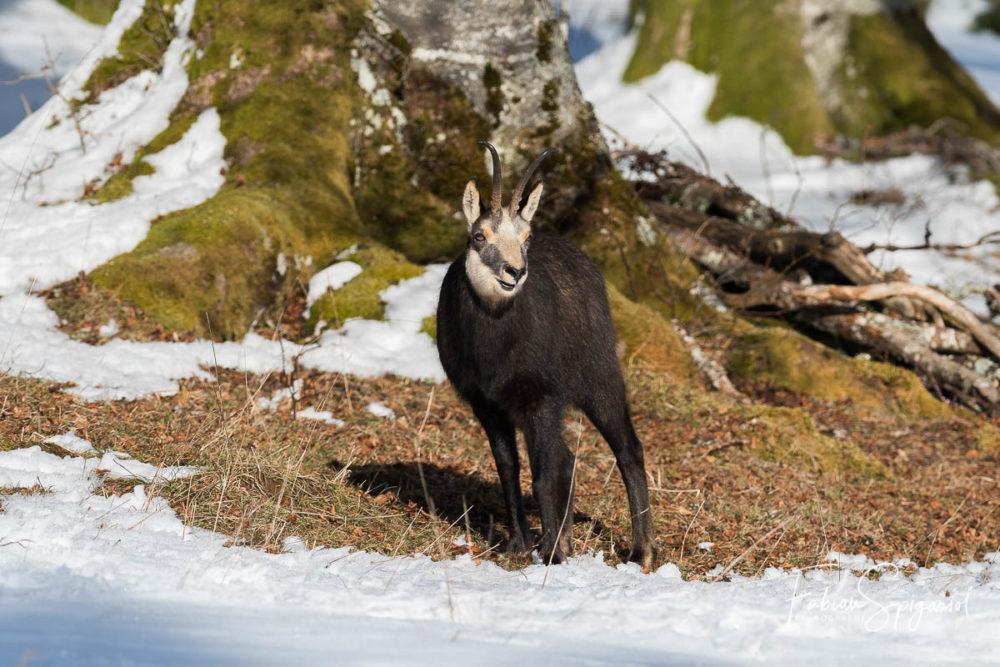 Le chamois recherche les zones libres de neige pour brouter quelques herbes au coeur de l'hiver.