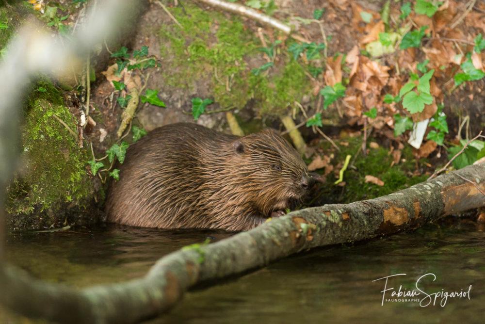 Sans un bruit, ce castor s'est approché à quelques mètres du photographe pour déguster quelques feuilles...