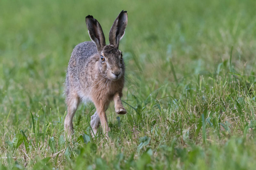 C'est à pas feutrés que le lièvre des crêtes du Jura s'adonne à un petit footing du soir.