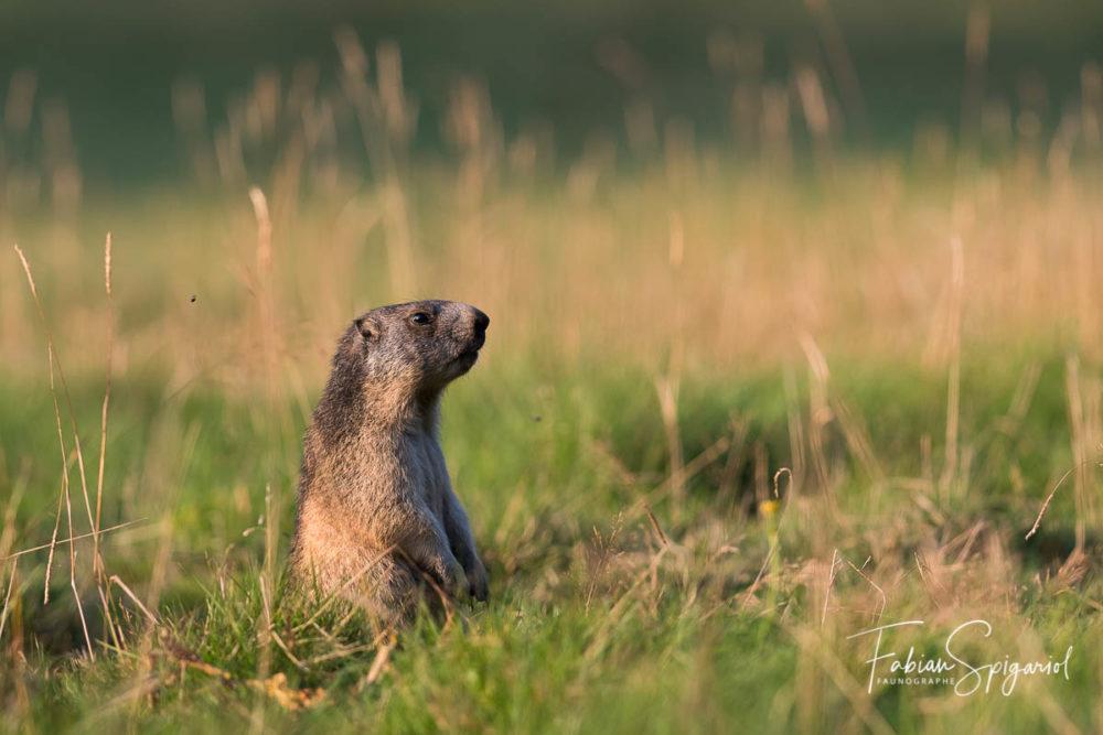 Dans la douce lumière d'un soir d'été, on pourrait prendre cette marmotte jurassienne pour un chien de prairie amérindien...