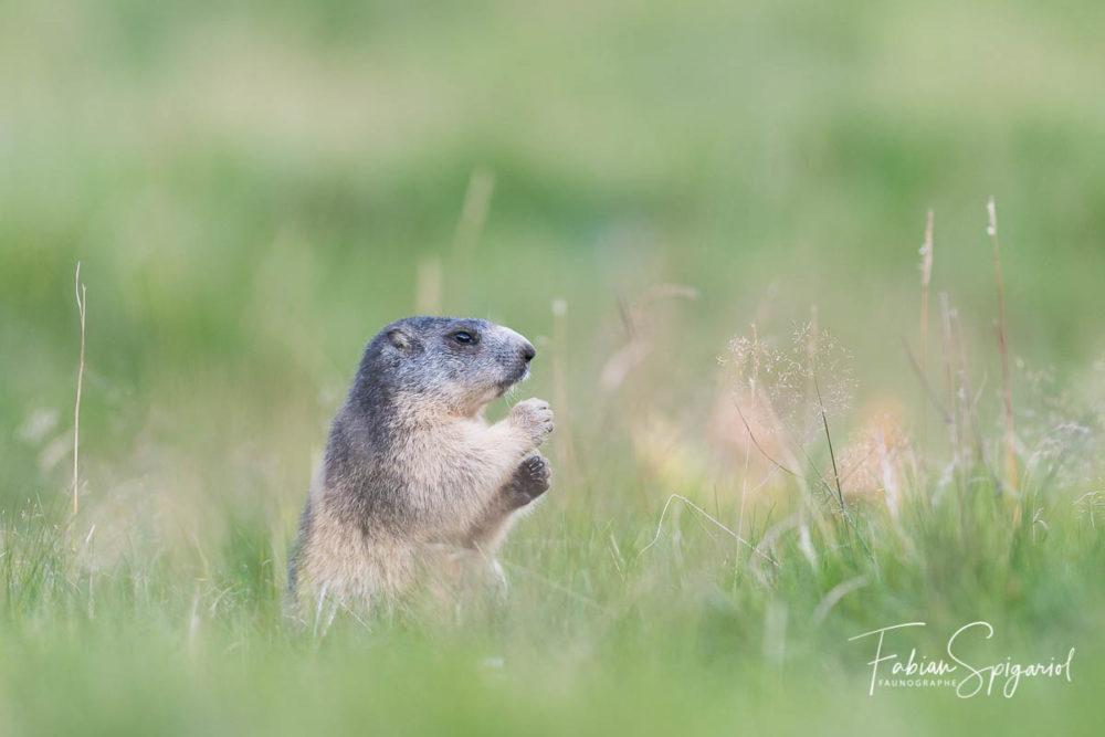 Une belle rencontre avec la marmotte jurassienne dans l'ambiance douce et feutrée d'un paturage boisé.