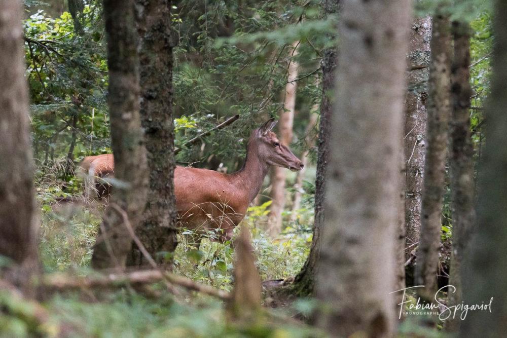 C'est en toute discrètion que la biche de cerf arprente la forêt jurassienne.