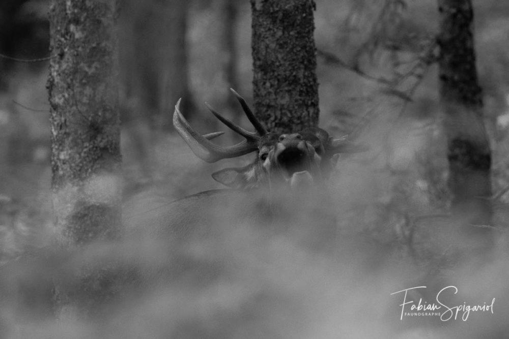 Il arpente sa forêt jurassienne, s'approche à quelques mètres seulement avant d'émettre un brame puissant. Le roi de la forêt est de retour.