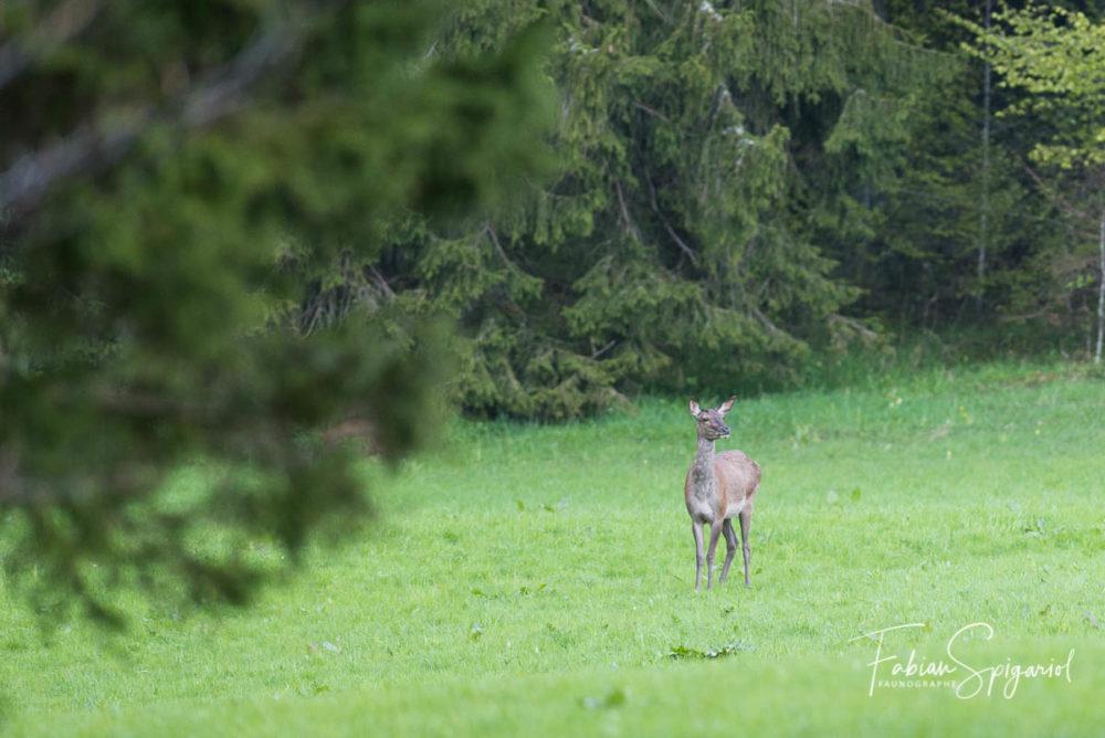 En toute discrétion, cette biche sort du couvert forestier pour brouter un soir d'été.