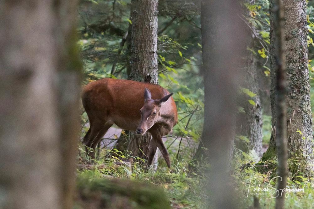 Regards croisés avec une biche de cerf surprise au coeur d'une forêt jurassienne.