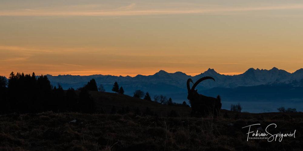 Admirant ses alpes originelles durant de longues minutes, le bouquetin jurassien retourne dans le cirque du Creux-du-Van avant le lever du soleil.