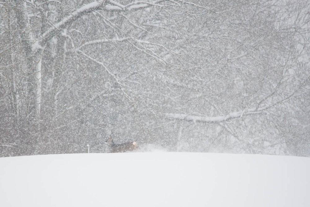 Sous une tempête de neige, cette chevrette court s'habriter dans la forêt.
