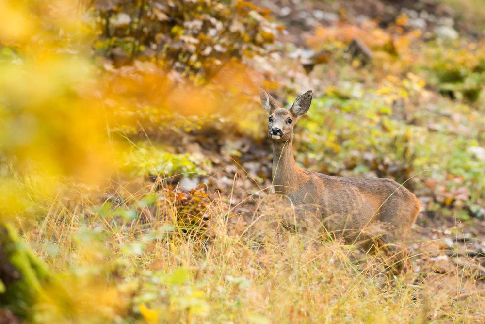Chevrette forestière - Chevreuil croisé dans une forêt du Val-de-Travers aux teintes automnales.