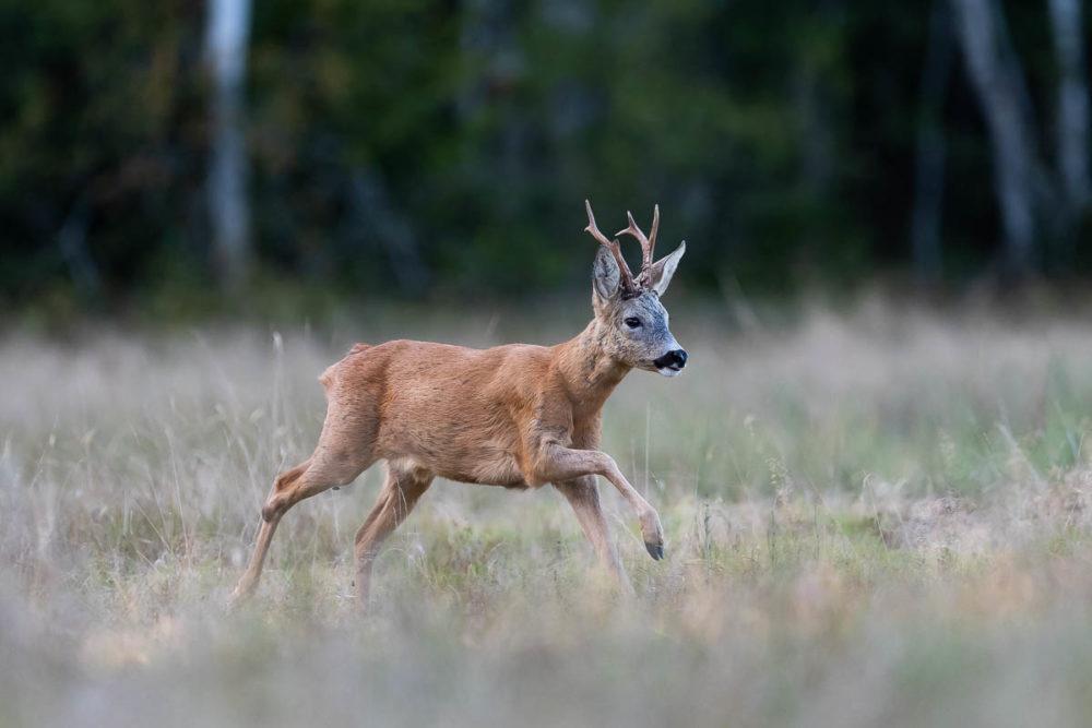 Ce chevreuil mâle sorti de la forêt au pas de course s'empresse de rejoindre un bosquet de hautes herbes où il sera à l'abri des regards.