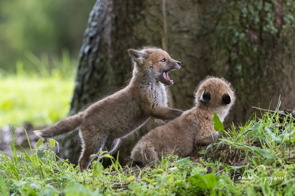 Les prémices de la chasse et de la bagarre s'apprennent au terrier, entre petits guerriers.