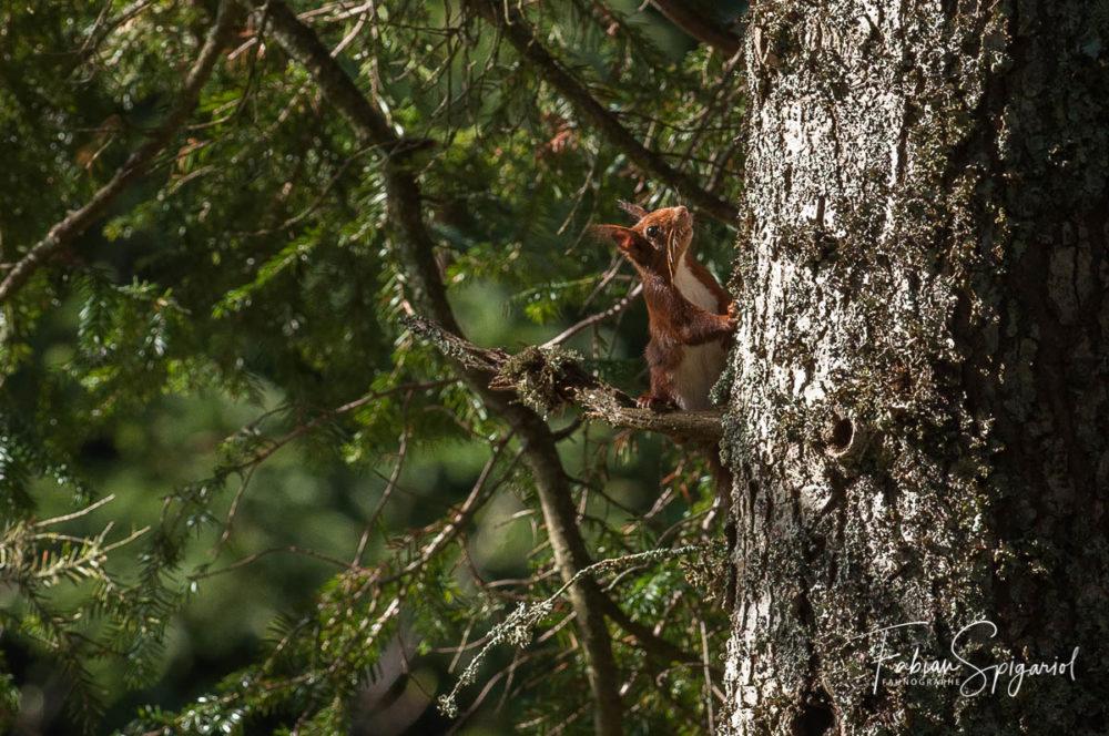 Surpris par le photographe, l'écureuil est resté de longues minutes perché sur sa branche de sapin avant de reprendre sa route.