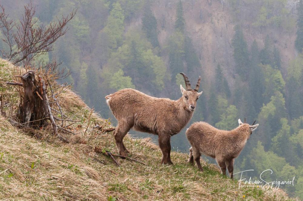 Encore vétus de leurs manteaux d'hiver, ces deux bouquetins affrontent la pluie printanière dans la réserve du Creux-du-Van.