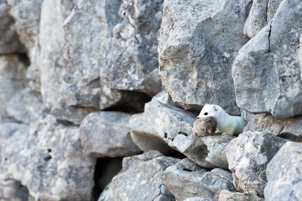L'hermine en robe d'hiver fait une brève apparition dans le mur en pierres sèches avec un campagnol dans la gueule.