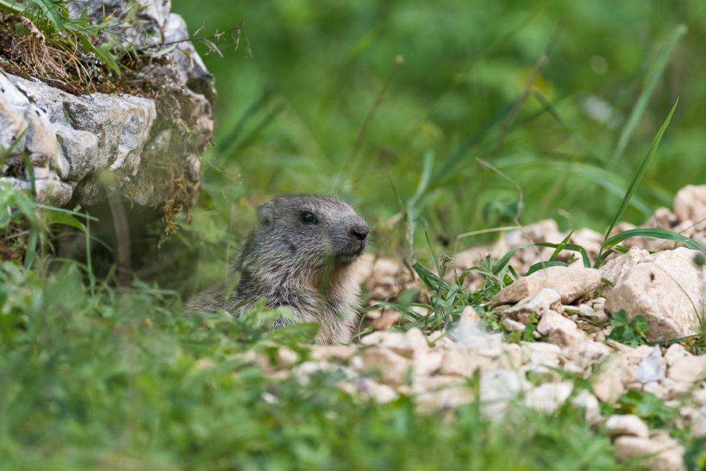 Cette jeune marmotte observe les environs avec attention avant de s'éloigner de la bouche de son terrier.