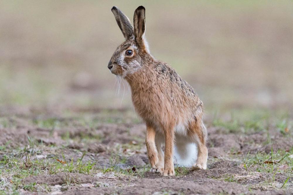 A quelques mètres seulement du photographe, ce lièvre brun observe attentivement les environs.