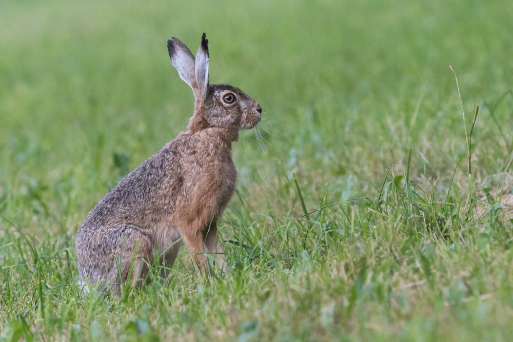 Avec son regard qui couvre presque 160 degrés et son ouïe redoutbale, le lièvre ne se laisse pas facilement surprendre.
