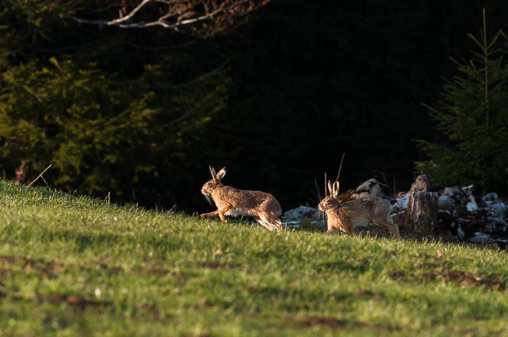 Deux lièvres bruns surpris en pleine séance de bouquinage printanier dans un paturage boisé des environs du Val-de-Travers.