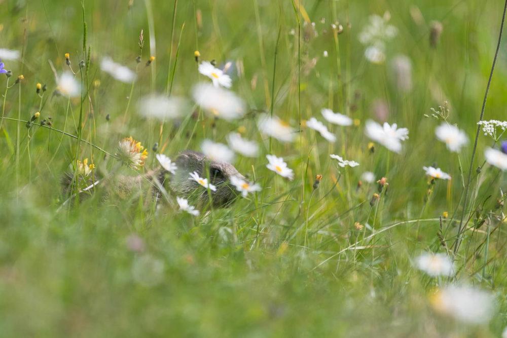 Baignée dans un océan de fleurs, la jeune marmotte du Jura Neuchâtelois s'aventure dans les environs du terrier familial.