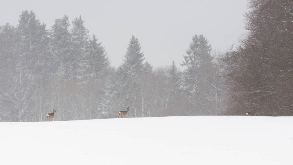 Dans le silence de l'hiver, les chevreuils traversent le paturage boisé pour rejoindre l'abri du couvert forestier.